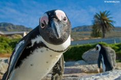 Get up close and personal with penguins in Simons Town