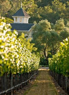 Historic Inglewood Estate - Napa Valley Winery and Vineyard - Cabernet Sauvignon Vineyard and Wine