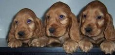 cocer spaniel pups