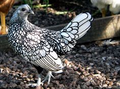 The Sebright, an actual breed of chicken.