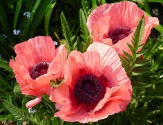 pink poppies - Google Search
