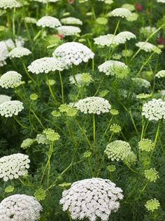Ammi majus (lace flower/bishop's weed)