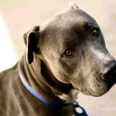 #CALIFORNIA #URGENT ~ CHARITY ID A1511815! This girl is SO VERY SPECIAL, 2 yo, 53 lbs fit healthy lean pittie girl with beautiful blue coat is the most CALM, OBSERVANT, MELLOW & GENTLE. VIDEO www.facebook.com/... www.facebook.com/... ~ County of San Diego Animal Services - Central shelter 5480 Gaines Street #SanDiego CA 92110 PH 619-767-2675