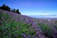 Ali'i Kula Lavender Farm, Maui