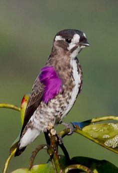 White-browed purpletuft (Iodopleura isabellae) - by Celuta Machado