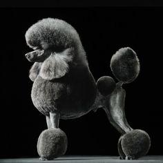 Graceful....Poodle portrait - Tim Flach