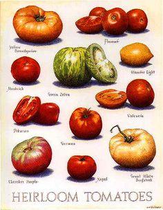 Prints for Sale - Cook's Illustrated Art — John Burgoyne IllustrationJohn Burgoyne Illustration Tomato Garden, Vegetable Garden, Food Charts, Heirloom Tomatoes, Growing Tomatoes, Food Illustrations, Fruits And Vegetables, Prints For Sale, Organic Gardening