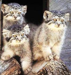 Baby wild cats