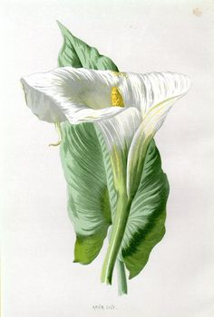 1887 Antique Botanical Print Arum Lily by AntiquePrintGallery Vintage Botanical Prints, Botanical Drawings, Botanical Illustration, Botanical Flowers, Botanical Art, Vintage Diy, Floral Illustrations, Vintage Flowers, Watercolor Flowers