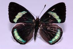 Nymphalidae – Diaethria clymena (Cramer,1775) – Darwin Ciencias Naturales