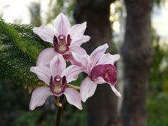 Cymbidium Insigne   Cymbidium insigne species orchid