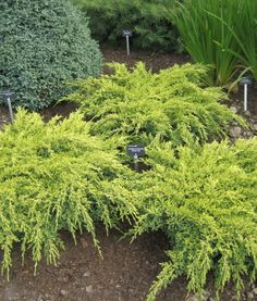 kirju kadakas Dream Joy Juniperus Squamata, Joy, Landscape, Garden Ideas, Gardens, Landscaping, Plant, Scenery, Glee