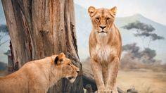downlaod full hd African Lioness Wallpaper desktop ,mobile, table, Widescreen, Mobile, Table, Fullscreen, High Definition, Dual Monitors.HD 4k wallpaper