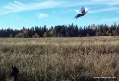 Driven pheasant