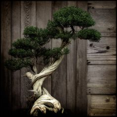 There are no borders in bonsai. The dove of peace flies to palace as to humble house, to young as to old, to rich and poor. So does the spirit of bonsai. Jardin Zen Miniature, Miniature Trees, Ikebana, Bonsai Plants, Bonsai Garden, Bonsai Trees, Succulents Garden, Air Plants, Cactus Plants