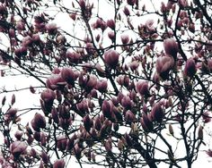 Fort Green Park Magnolia Tree buds - The Magnolia Tree - Nalata Nalata