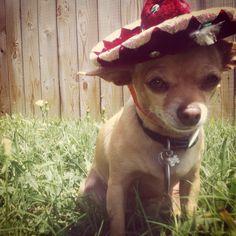 Ah chihuahua... Happy 5 de Mayo!! :)