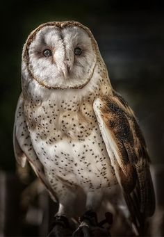 Barn Owl by Mark Rainer Pinned by www.myowlbarn.com