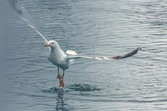 https://flic.kr/p/sTD5a7 | Seagull-may-2015-1