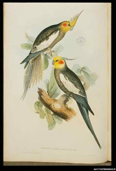 Also known as a Crested Parrot or Quarrion, the Cockatiel (Nymphicus hollandicus) is found throughout inland Australia. Feeds upon the seeds of grasses and herbaceous plants and nests in a hole of a tree or stump. The bird is migratory in its southern range congregating in pairs or flocks. John Gould, 1848.