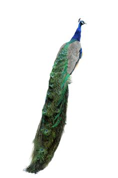 Elvis the peacock