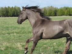 The Sorraia horse is an endangered South Iberian wild horse, also known as a Sorraia mustang.