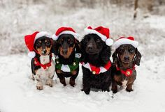 Cutest Dog Christmas photo competition. This what happens when all wieners get together.