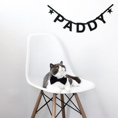Paddy in a chic black bow tie   Photo by Cindy Chen #cat #cats #BritishShorthair #BritishShorthairs