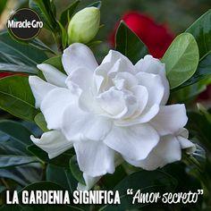 ¿Te regalaron una gardenia? Descubre su significado