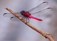 Anisoptera Ana Cotta 2830198213 - Magenta - Wikipedia, the free encyclopedia