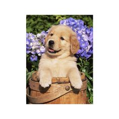 Golden Retriever Puppy in Bucket (Canis Familiaris) Illinois, USA... ($35) ❤ liked on Polyvore featuring home, home decor, wall art, animals, dogs, dog breeds, domestic animals, subjects, dog wall art and dog home decor