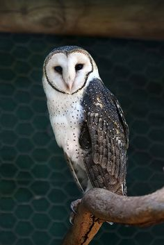 "Photo from album ""temp ch 1 on Owl Photos, Owl Pictures, Beautiful Owl, Animals Beautiful, Owl Bird, Pet Birds, Animals And Pets, Cute Animals, Australian Birds"