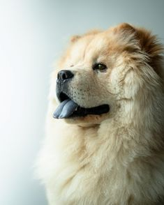 Chow Chow Colours, Tongue and Litter Size - Pet Lovers Nigeria Chow Chow, Pet 5, Office Dog, Super Images, Buy A Dog, Dog Nose, Dog Facts, Dog Wallpaper, Cute Dogs And Puppies