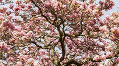 Uralte Magnolie | Rosen . Garten . roses . garden | Rheinland . Eifel . Koblenz . Gut Nettehammer |