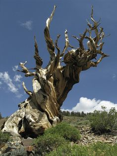 There are only three species of bristlecone pine in the world, and they all grow in the western United States: the Great Basin bristlecone pine (Pinus longaeva, seen in most of these images), which grows in Utah, Nevada and parts of California; the Rocky Mountains bristlecone pine (Pinus aristata), which grows in Colorado, New Mexico and Arizona; and the Californian Foxtail Pine (Pinus balfouriana), which can also be found in California.
