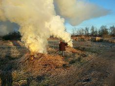 Reed cultivation #Giethoorn #Nature #WeerribbenGiethoorn @GiethoornWieden