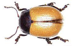 Family: Chrysomelidae Size: 6.5 mm Distribution: North Africa Location: Algeria, Guelt-It-Stel Gourz Naam s, 1000 m U.Eitschberger leg; det. Kippenberg Photo: U.Schmidt, 2005