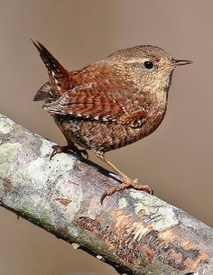 Winter Wren by David Cree