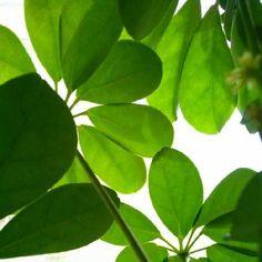 シェフレラの画像 by グリーンレモンさん | 窓辺とシェフレラと葉っぱの裏フェチと植中毒と観葉植物