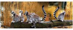 Lemur ?