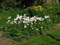 Snowdrop Windflower,