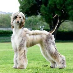 Afghan Hound - young Domino