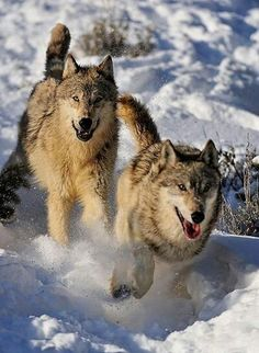 Wolves playing in snow.