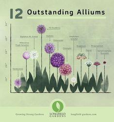 So kombinieren Sie Alliums mit Stauden - Longfield Gardens - Fleurs - . Garden Types, Garden Care, Allium Flowers, Planting Flowers, Flower Gardening, Perennial Garden Plans, Perennial Gardens, Garden Wallpaper, Flower Garden Design