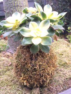 Flora Vertical. Kokedama Sphagnum & suculent