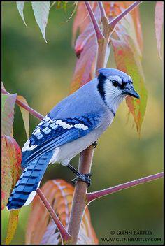 cyanocitta cristata (blue jay), by glenn bartley - www.glennbartley.com, via flickr