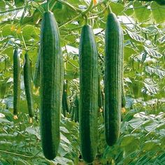 Medicinal Plants, Country Life, Botanical Gardens, Cucumber, Flora, Seeds, Vegetables, Agriculture, Plants