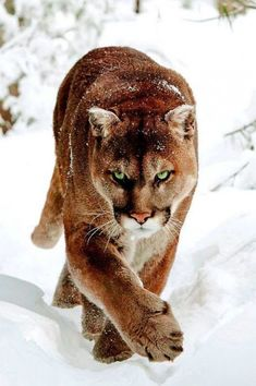 18 ideas in Big cats Gmail Huge Cat, Big Cats, Cool Cats, Cats And Kittens, Siamese Cats, Beautiful Cats, Animals Beautiful, Pumas Animal, Animals And Pets