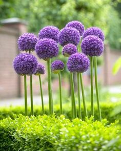 Giant allium...we added to the yard this year.  So incredibly simple and graphic, very unique and eye catching. Flower seeds