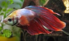 You've probably heard of betta fish before. They are beautiful fresh water fish that make fantastic, low maintenance pets. They are stunningly...